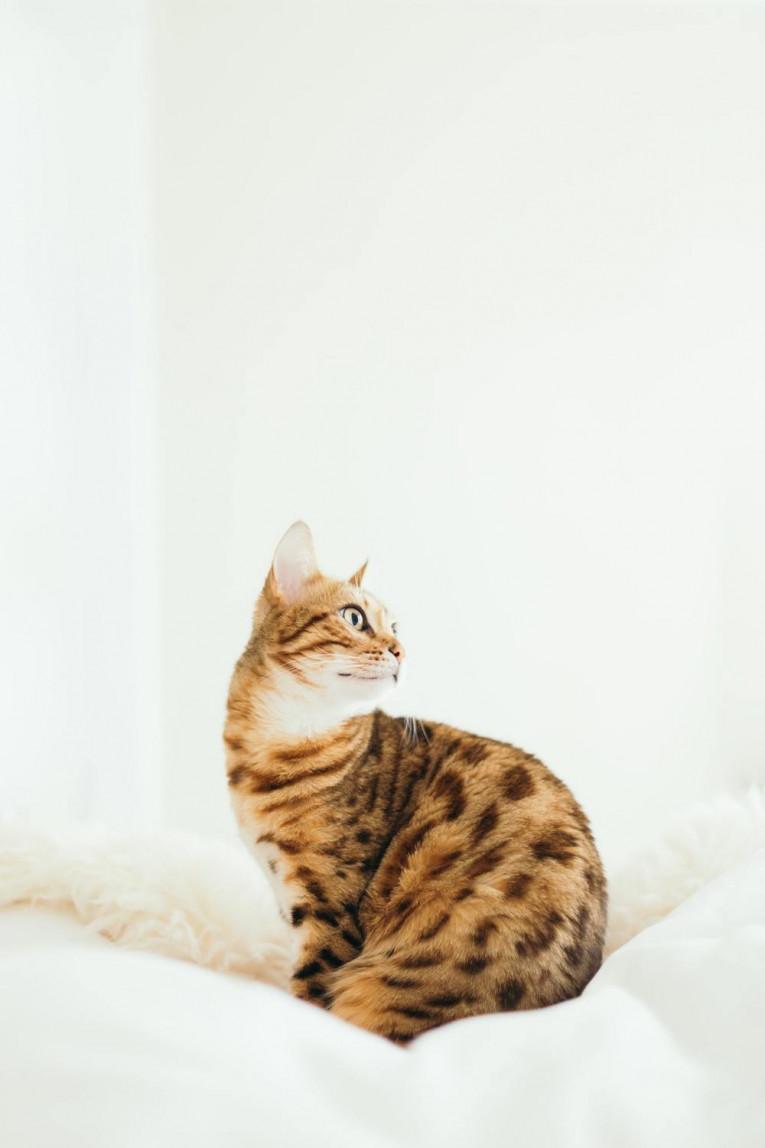 Кастрировать кота или нет?