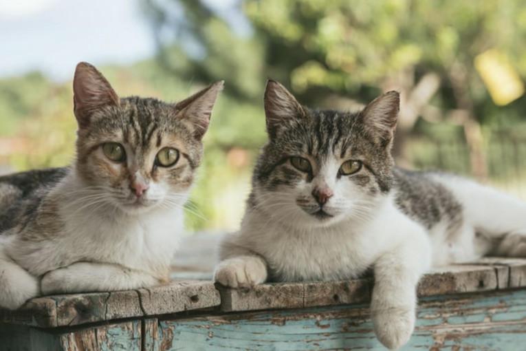 Сухі корми для для здоров'я зубів у кішок