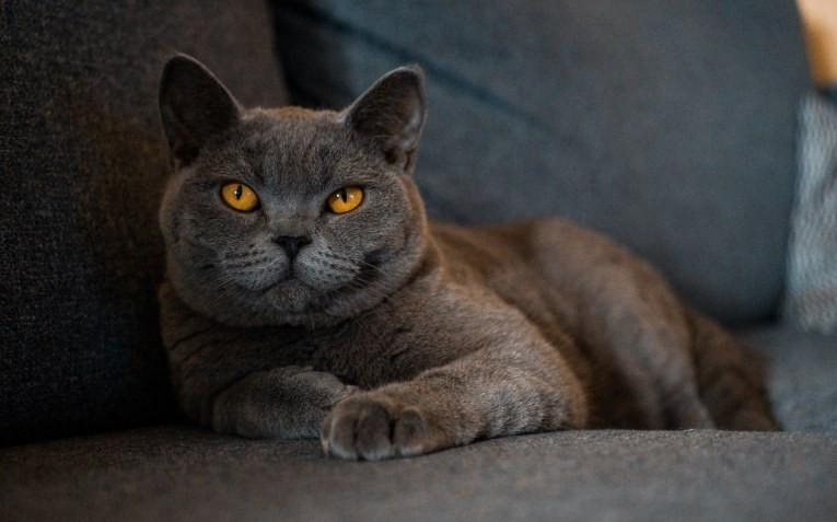 Все о британских кошках: особенности характера, уход и кормление