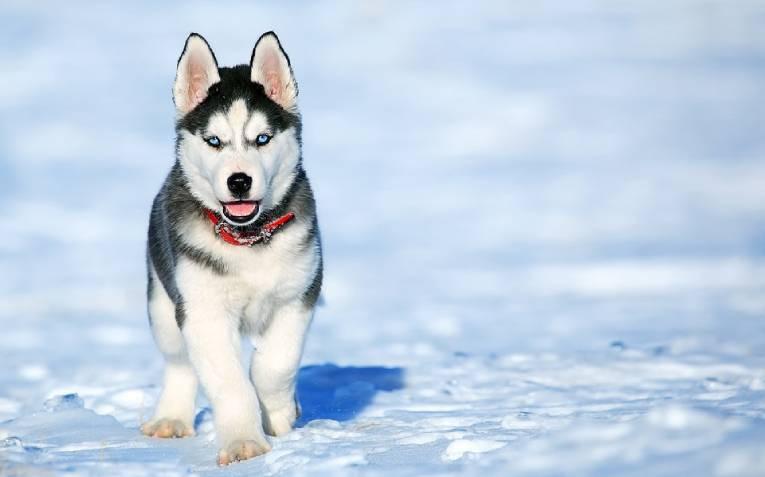 Все о породе собак хаски: характер, особенности породы, рацион